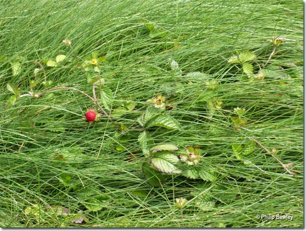 wildstrawberries021.jpg