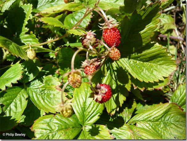 wildstrawberries062.jpg
