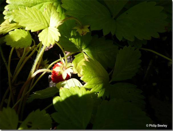 wildstrawberries07.jpg